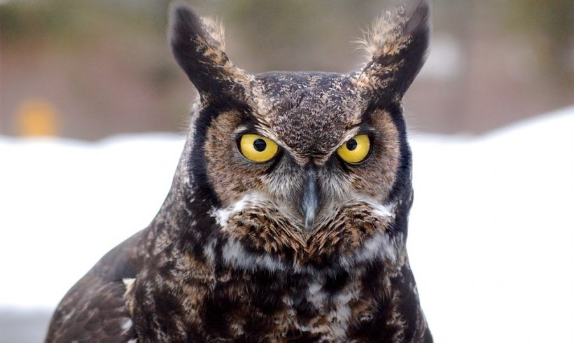 What's all the hooting about? Great horned owls might be heard but not seen