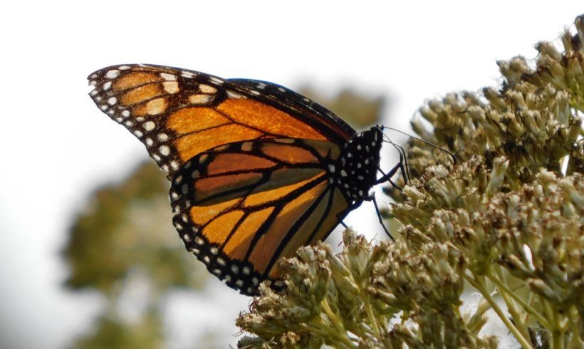 A Monarch's Autumn Journey