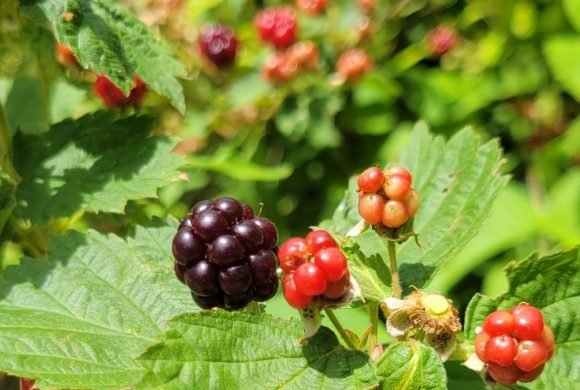 Berry Picking (and eating) is a Summer Tradition